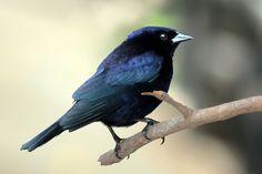 Shiny cowbird (Molothrus bonariensis) male - List of birds of Brazil - Wikipedia, the free encyclopedia