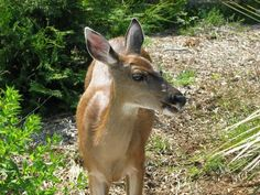 Deer in our yard British Columbia, Deer, Yard, Canada, Animals, Image, Patio, Animales, Animaux