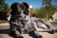 Chloe, our Australian Shepard / Great Pyrenees mix.
