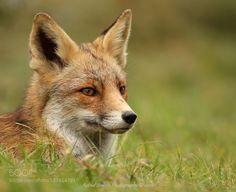 Red Fox by info1325 via http://ift.tt/1JvBcKq