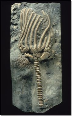Crinoids lived around the Silurian.  They were attached to the sea floor by their stem.  Crinoids were filter feeders gathering nutrients and microscopic organisms into their finger like heads.