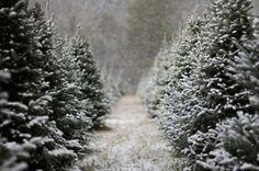 evergreen trees, snow