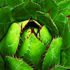 A. geminiflora - 16 Gorgeous Agave Plants - Sunset Mobile