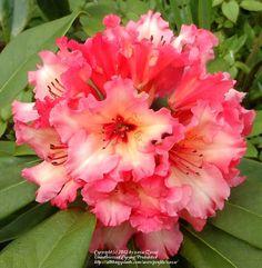 Rhododendron 'Fire Rim