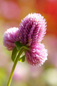 Perpetua - Florais de Saint Germain Para pessoas que sofreram perdas afetivas, ou para os que carregam um forte sentimento de saudade