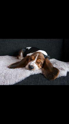 Sleepy basset pup
