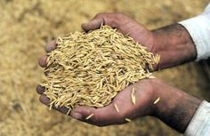 "'Revolutionary' rice-growing method gets much more for less -- if we think we have to continue to do stuff because ""that's how it's done"" then we are totally crazy."