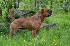 Beauty: Eleanor's Eloy Conti Continental Bulldog, Olde English Bulldogge, Bullen, Puppy Mills, Old English, Service Dogs, Country Life, Bulldogs, Dog Breeds