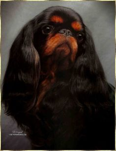 English Toy Spaniel - Black and Tans are cute too!