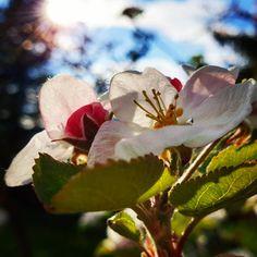 """Gefällt 0 Mal, 0 Kommentare - Helping Flowers (@helping_flowers_essenzen) auf Instagram: """"Es sind halt grad die Apfelblüten die bei uns gerade so schön sind. Die Apfelblüte ist eine helping…"""" Grad, Flowers, Plants, Instagram, Alternative, Nice Asses, Plant, Royal Icing Flowers, Flower"""