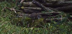 Grey Squirrel #wildlife - http://anenglishwood.com/?p=10060