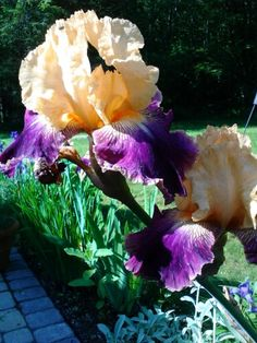 Pink and purple tulips at longwood gardens longwood - Places to eat near longwood gardens ...