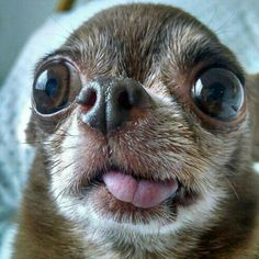 Funny Chihuahua Pictures, Cute Chihuahua, Funny Animal Pictures, Funny Animal Jokes, Funny Animal Videos, Cute Funny Animals, Ugly Dogs, Cute Animal Photos, Cute Memes