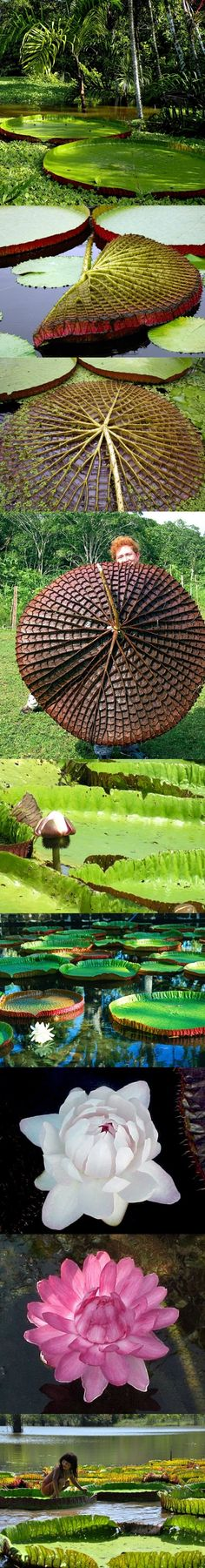 VITÓRIA-RÉGIA - é uma das maiores plantas aquáticas do mundo, suas folhas podem chegar até 2,5 mts e  são capazes de suportar uma carga de até quarenta quilos, sem afundar na água. Suas flores brotam de março até julho e podem ser, branca, roxa, lilás, rosa e amarela e exala um delicioso perfume. Sua raiz é consumida pelos índios como alimento e tintura. Outros nomes:  irupé, uapé, aguapé, jaçanã, nampé, rainha-dos-lagos. Seu nome popular é em homenagem a rainha Vitória. Amazônia - Brasil.