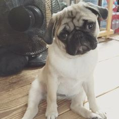 Pug Dogs, Puppies, Baby Pugs, Warm Fuzzies, All Things Cute, Heavenly, Best Dogs, Scrapbook, Gifts