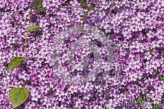 Texture with bright small purple flowers very close together.