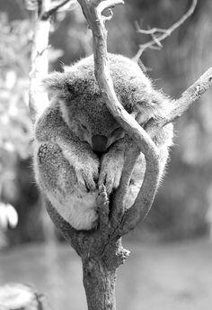 sleeping Koala Baby
