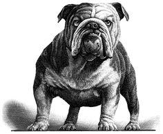 Mark Summer's Animal Kingdom illustration series is a reminder of century engravings. Bulldog Drawing, Bulldog Tattoo, Bulldog Mascot, Bulldog Puppies, British Bulldog, French Bulldog, Mark Summers, Estilo Cholo, Cute Bulldogs