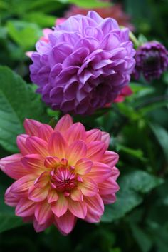 Dahlia- my great-grandmother' flower.Bring me so enjoy and unforgettable moments