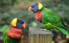 Rainbow Lorikeet (Trichoglossus haematodus) Philadelphia Zoo.