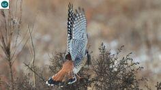 https://www.facebook.com/WonderBirds-171150349611448/ Chim Cắt châu Mỹ; Họ Cắt-Falconidae || American kestrel/Sparrow hawk (Falco sparverius) IUCN Red List of Threatened Species 3.1 : Least Concern (LC)(Loài ít quan tâm)