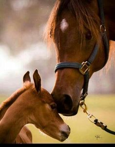 There's nothing like mare and foal photos to warm your heart - at least if you're an Arabian Horse Lover :) All The Pretty Horses, Beautiful Horses, Animals Beautiful, Cute Animals, Funny Animals, Clydesdale, All About Horses, Baby Horses, Mundo Animal