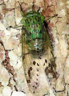 ˚Green shield cicada - Brazil