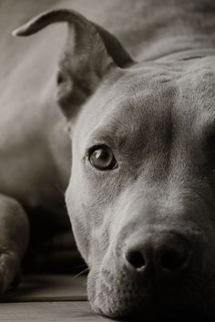 History of the Pit Bull . The American Pit Bull Terrier is a wonderful dog,…