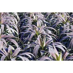 For the courtyard garden, the purple will compliment the gray driveway nicely - 200mm Yucca Desmetiana Soft Leafed