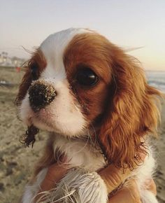The Cavalier King Charles Spaniel is a direct descendant of the King Charles Spaniel and is named after King Charles II. The earliest appearance of this breed came in when King Charles Spaniels… Puppies And Kitties, Cute Puppies, Cute Dogs, Doggies, Corgi Puppies, Funny Dogs, Perro Cocker Spaniel, Spaniel Puppies, King Charles Puppy