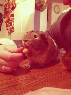 Guinea pigs are awesome. I want one. :)   Weet weet weet weet.