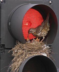 weird but cool - a mama bird made a nest for her chicks on a traffic light! Unusual Home choice! All Birds, Little Birds, Angry Birds, Nest Building, Traffic Light, Tier Fotos, Fauna, Bird Watching, Bird Feathers