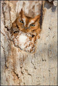 Ken Cravillion Photography - Red morph screech owl