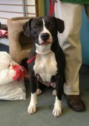 Dozea Is An Adoptable Pit Bull Terrier Dog In Parkersburg Wv I M