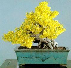 bonsai-amarela