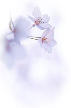 Sakura by naoki nomura on - New Ideas - Orchideen Sakura Wallpaper, Colorful Wallpaper, Flower Wallpaper, Flowers Nature, Purple Flowers, Beautiful Flowers, Beautiful Pictures, Art Floral, Flower Backgrounds