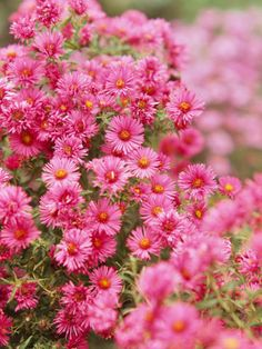 Aster New England aster bears loads of pink, blue, purple, and white flowers that are great in the vase or in the garden. Butterflies love it -- and we do, too. Name: Aster novae-angliae Growing Conditions: Full sun and well-drained soil Size: To 5 inches tall Zones: 4-8