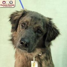 Fuzzy - Australian Shepherd mix - 2 yrs old - Male - Humane Society for Greater Nashua -Nashua, NH. - http://www.hsfn.org/adopt/available-dogs/ -  https://www.facebook.com/pages/Humane-Society-for-Greater-Nashua/58603244176 - http://www.petango.com/Adopt/Dog-Australian-Shepherd-24686358 - https://www.petfinder.com/petdetail/31199558/