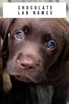 Chocolate Lab Names Cute Labrador Puppies, Retriever Puppies, Cute Dogs And Puppies, Labrador Retriever, Chocolate Labradoodle, Chocolate Lab Puppies, Chocolate Names, Best Chocolate, Puppy Names