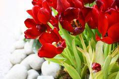 rote Tulpe, Foto Birgit Puck