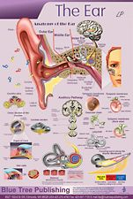 The Ear LP poster illustrates ear anatomy and functions. Cross-section views are detailed with zoomed-in illustrations and call-out labels. Pinned by SOS Inc. Resources http://pinterest.com/sostherapy.