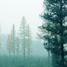 Photograph of  Tamarack Trees in the Mist  8x8. $20.00, via Etsy.