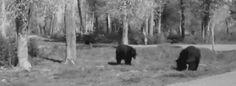 This bear who nobody takes seriously.