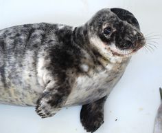 Our grey seal patient, Ponyboy, is ready to be released later this week!