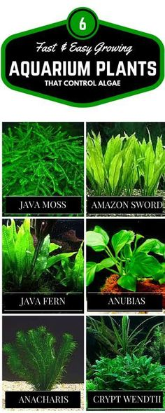 If you are new to keeping live plants here are 6 of the easiest to care for, fast growing plants that can help control algae. #TropicalFishKeeping