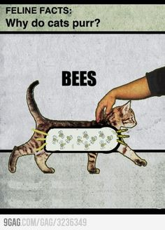 Why do cats purr? BEES!
