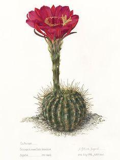 Margaret Mee - Alchetron, The Free Social Encyclopedia Vegetable Illustration, Plant Illustration, Botanical Illustration, Watercolor Illustration, Watercolor Art, Cactus Drawing, Cactus Art, Cactus Flower, Flower Art