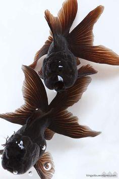 黒オランダ- Black goldfish