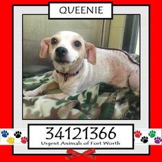 ●TO BE DESTROYED 3•18•17● QUEENIE Fort Worth, TX - Current Status: Awaiting pick up by adopter. Reason for URGENT: Hair loss - skin scrape negative. Animal ID: 34121366rn Name: Queeniern Breed: Chihuahua mixrn Sex: Femalern Age: 3 yearsrn Weight: 10 lbsrn Heartworm Negative. *Owner surrender - health of owner. Great personality. Queenie is a sweet girl who smiles.