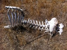 Skull Anatomy, Moose Art, Animals, Animales, Animaux, Animal, Animais